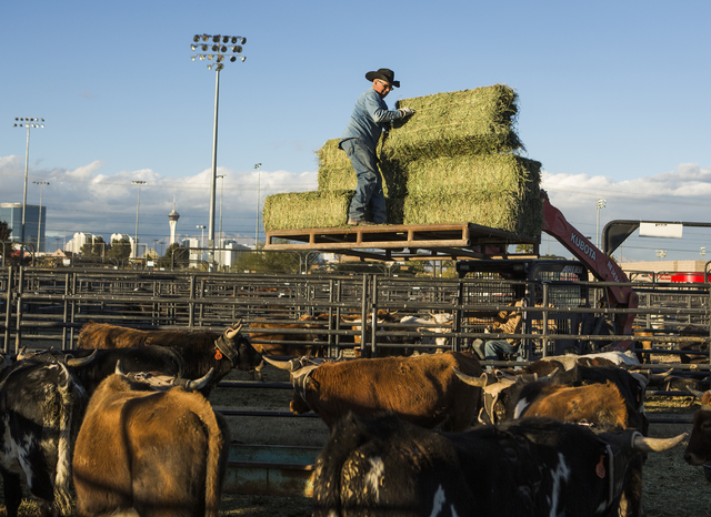 A man tosses a hay to National Finals Rodeo working stock at the Intramural Field behind the Thomas & Mack Center on Monday, Nov. 27, 2016. The 10-day event kicks off on Thursday. (Jeff Scheid ...