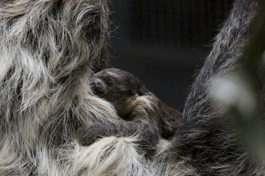 This photo shows the sloth, Charlotte and her baby two-toed sloth, in their habitat in Bird World in Denver. (Laurel Brunson/Denver Zoo via AP)