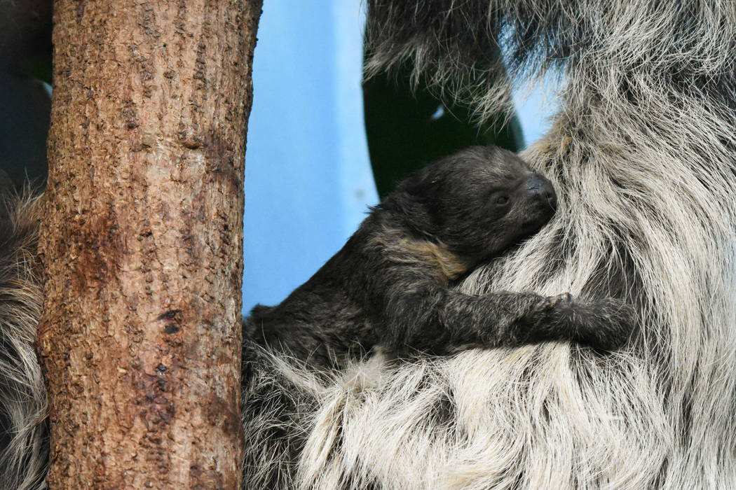 This photo shows the zoo's sloth, Charlotte and her baby two-toed sloth, in their habitat in Bird World in Denver. (Laurel Brunson/Denver Zoo via AP)