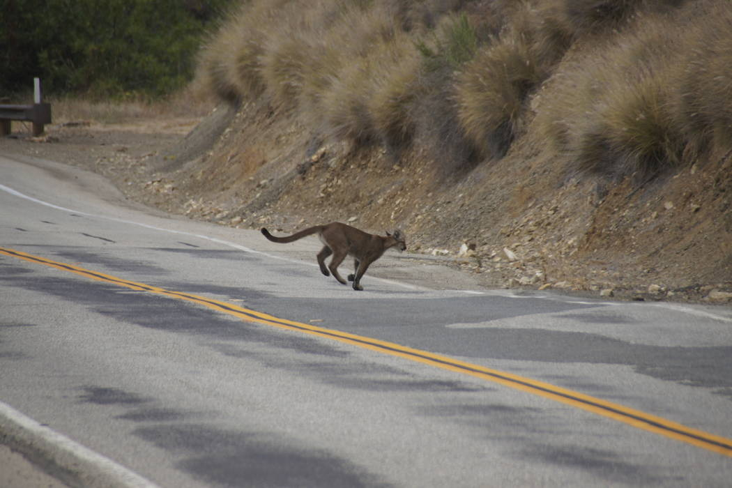 This July 10, 2013 photo photo provided by the National Park Service shows mountain lion P-23 crossing a road in the Santa Monica Mountains. (National Park Service via AP)