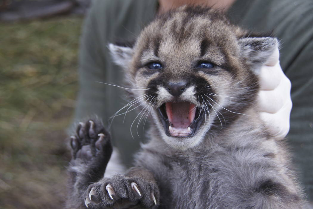 This July 3, 2012 photo provided by the National Park Service shows mountain lion P-23. (National Park Service via AP)