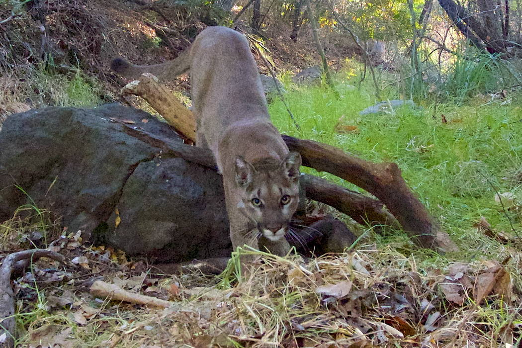 This Feb. 3, 2014 remote camera photo provided by the National Park Service shows mountain lion P-23 approaching a kill in the Santa Monica Mountains. (National Park Service via AP)
