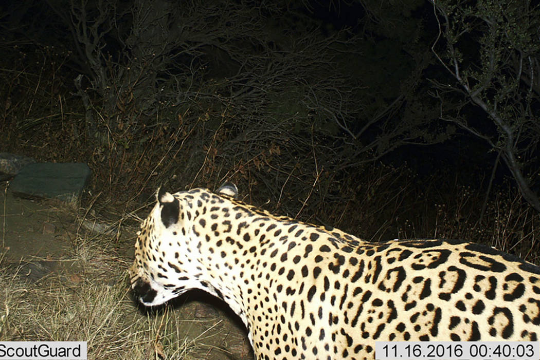 A Jaguar is photographed by a motion-detection cameras in the Dos Cabezas Mountains in southern Arizona in 2016. (Bureau of Land Management/U.S. Fish and Wildlife Service via AP, File)
