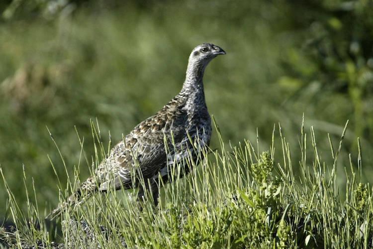 A sage grouse. AP Photo/Cathleen Allison, File