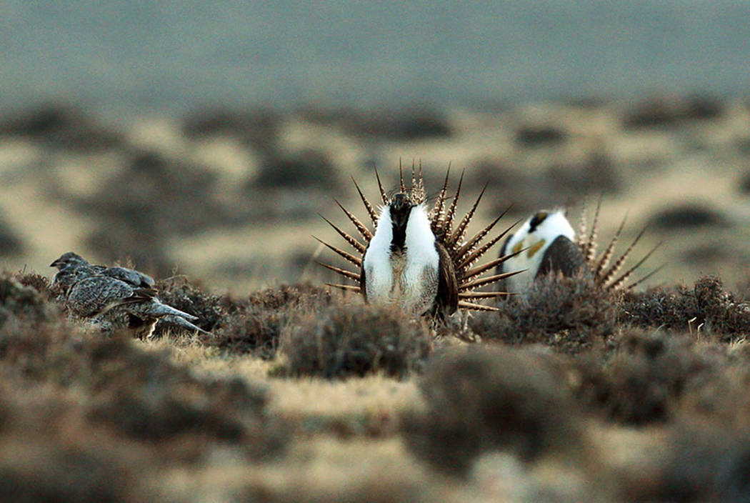 A male sage grouse tries to impress a group of hens, at left, near the base of the Rattlesnake Range in southwest Natrona County, Wyo., in 2014. (Alan Rogers/The Casper Star-Tribune via AP, File)