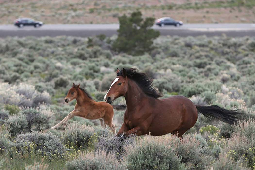 A federal judge has dismissed claims against a Nevada Indian tribal government over a disputed horse roundup in Washoe County. (Cathleen Allison/Las Vegas Review-Journal)