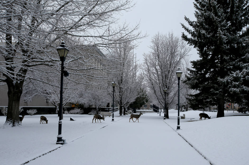 Deer feed on the grounds of the Capitol Complex in Carson City Sunday, Feb. 3, 2019. The 80th session of the Nevada Legislature will begin on Monday. (K.M. Cannon/Las Vegas Review-Journal) @KMCann ...