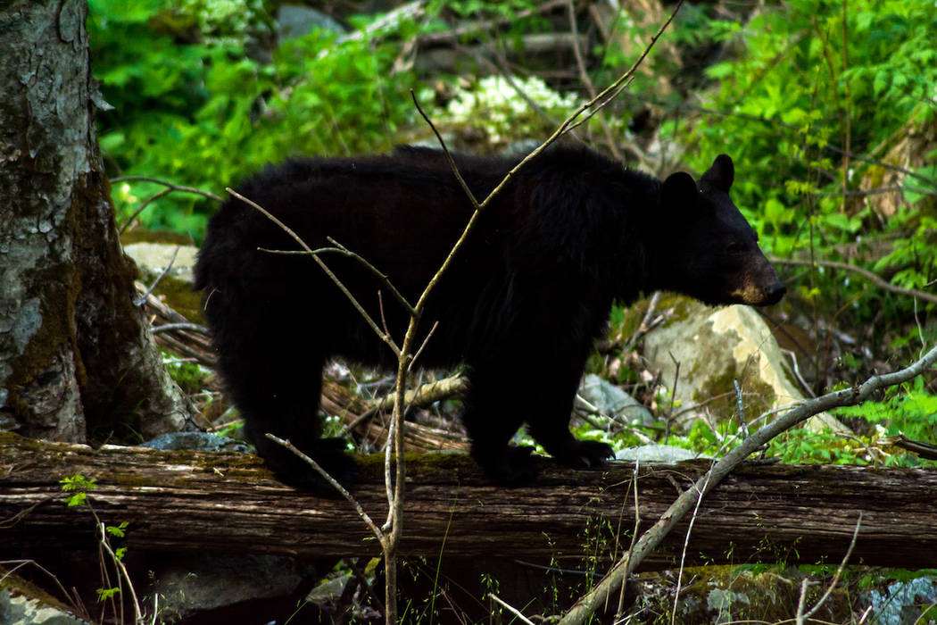 A bear to ventures deeper into the forest in the Great Smoky Mountains. (Getty Images)