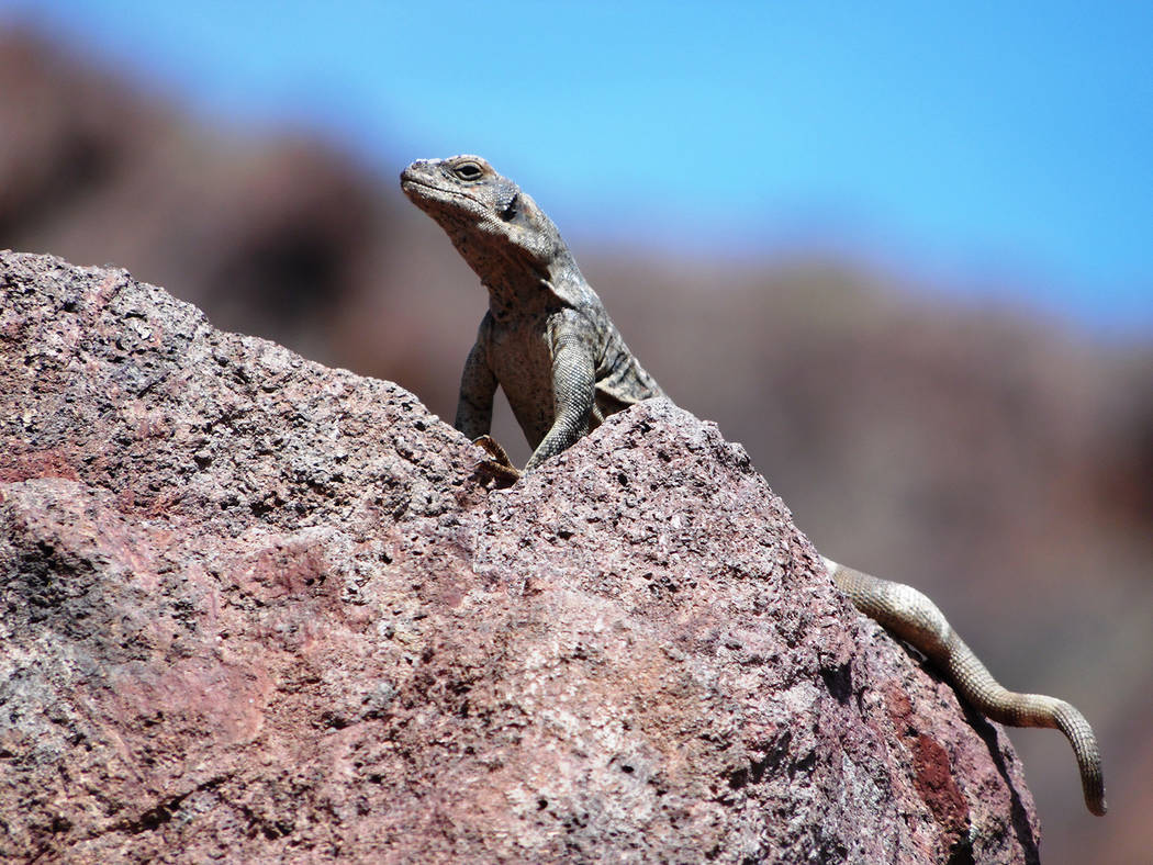 A chuckwalla protects its lair on the Nevada bank of the Colorado River around mile marker 59 o ...