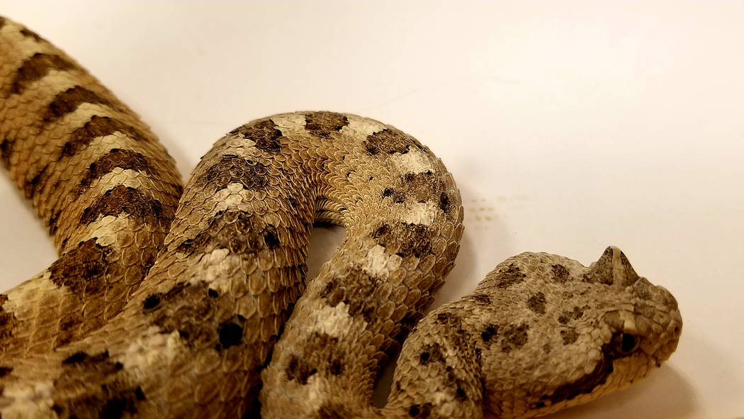 Herpetologist Bob McKeever brought with him rattlesnakes in portable, secured terrariums to a s ...