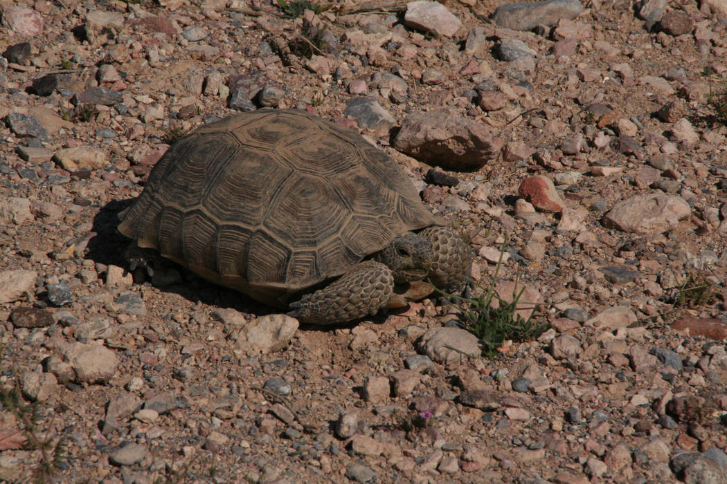 Desert tortoise also make their home at Pahranagat National Wildlife Refuge. (Deborah Wall/Las ...