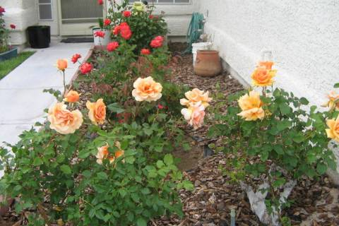 The South Valley Rose Show will be held Nov. 9 at the University of Nevada Cooperative Extensio ...