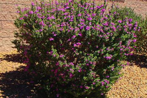 The best planting time for woody plants such as Texas rangers is from late September until mid- ...