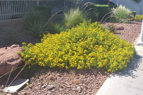 Lantana's chances of survival are much better in the ground than if you leave them in container ...
