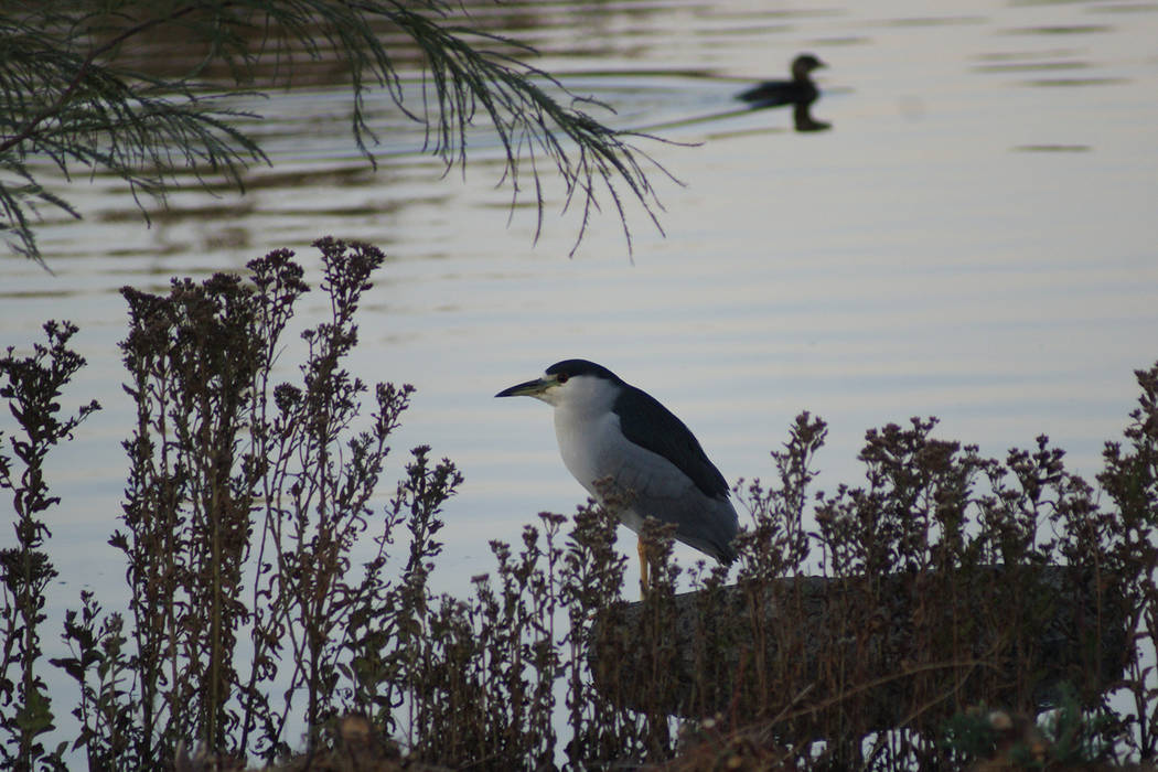 Black-crowned night herons, like this one at Cornerstone Park, are among Southern Nevada's wint ...