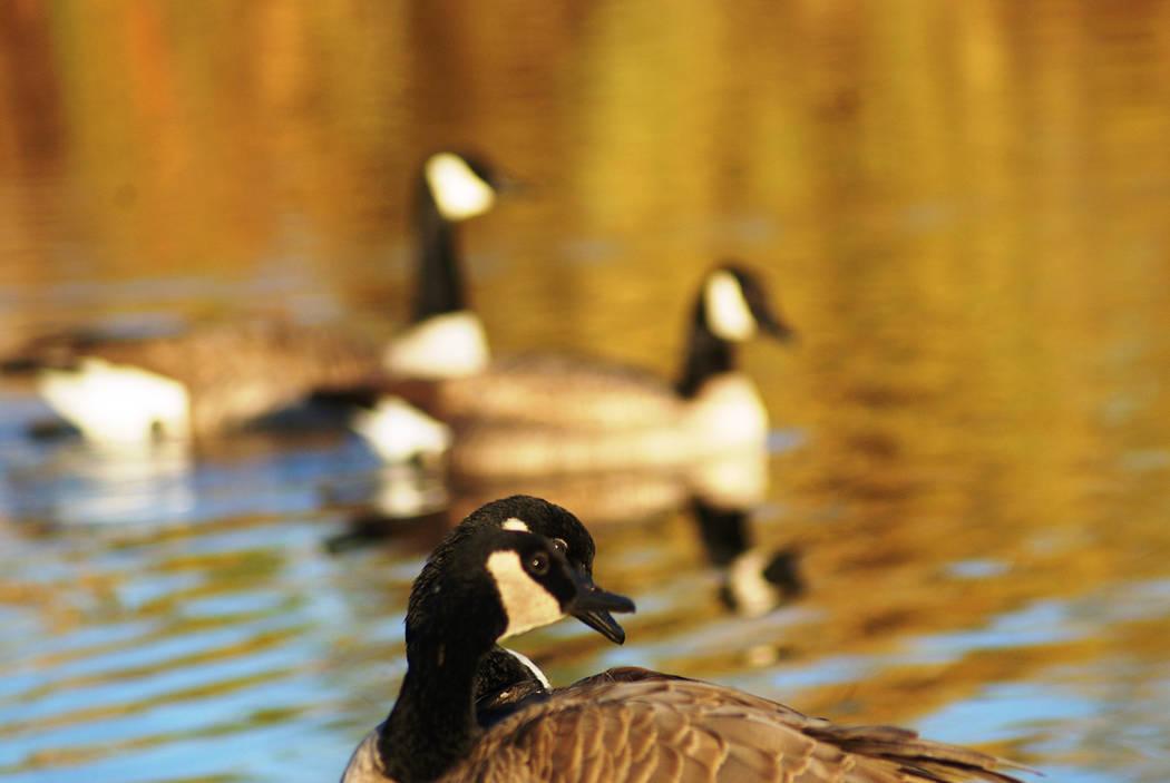 Canada geese during a recent winter sunrise at Cornerstone Park. (Natalie Burt)