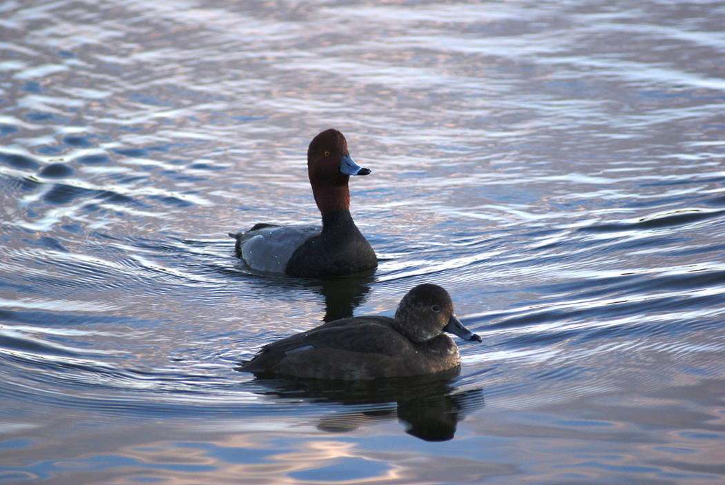 A male and female redhead swim at Cornerstone Park. (Natalie Burt)