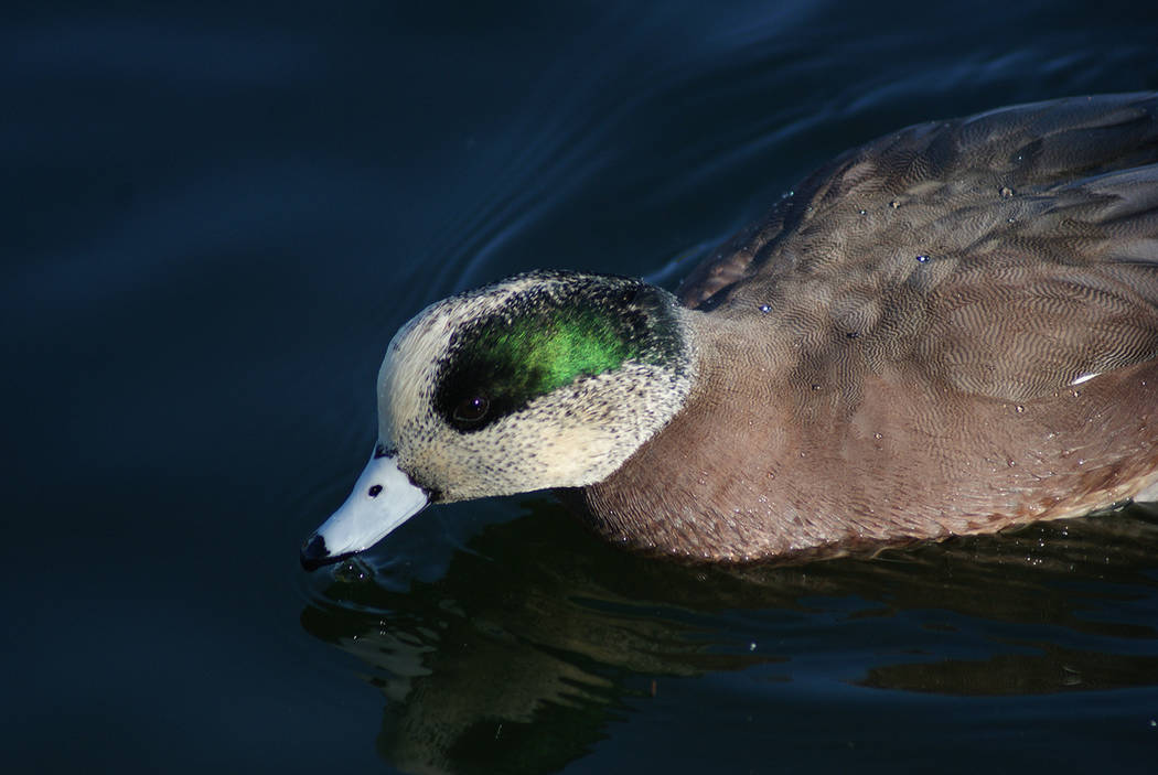 An American wigeon swims at Sunset Park. (Natalie Burt)