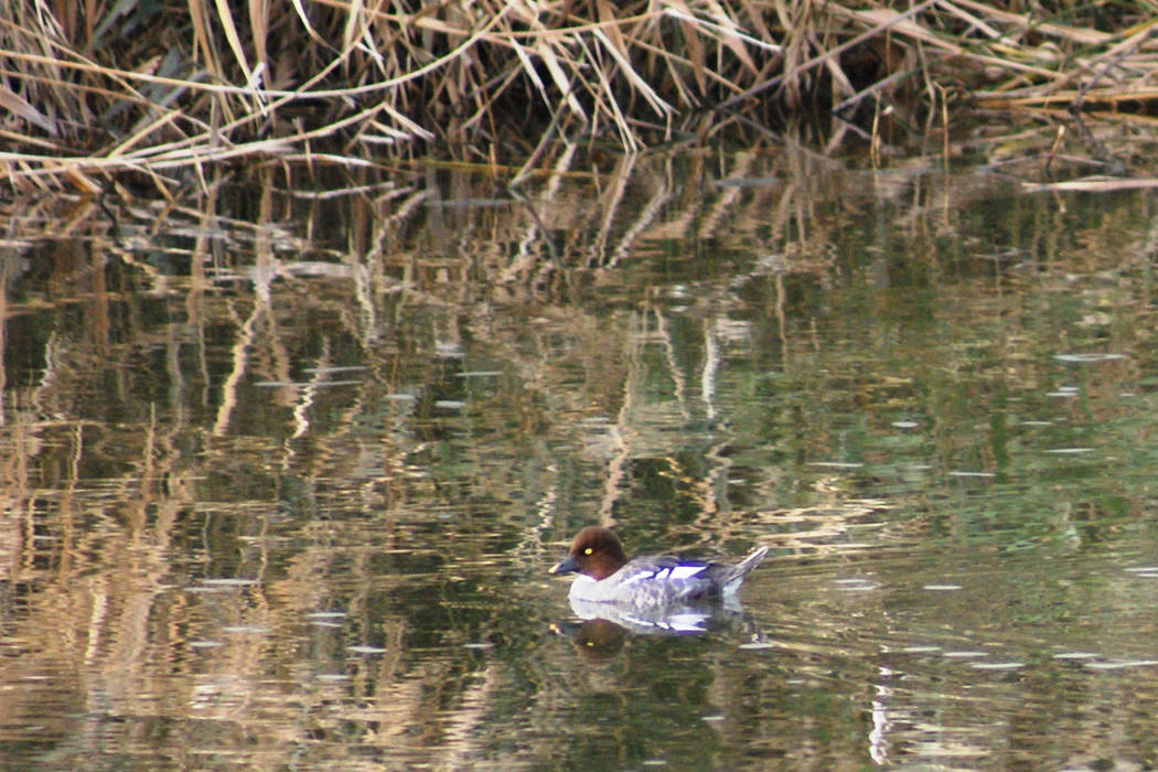 A common goldeneye spotted in late December along the Las Vegas Wash between Wells Trailhead an ...