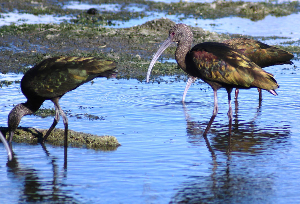 White-faced Ibis feeding in channel parallel to Wetlands Drive, which leads to Clark County Wet ...