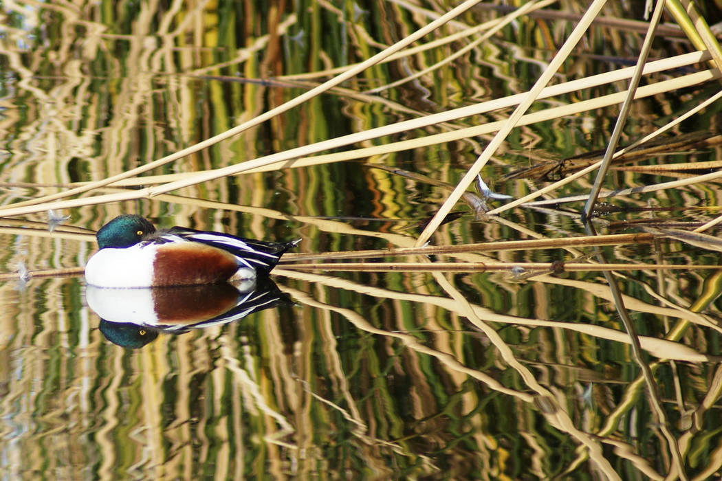 A northern shoveler is reflected on a pond in early January at the Henderson Bird Viewing Prese ...