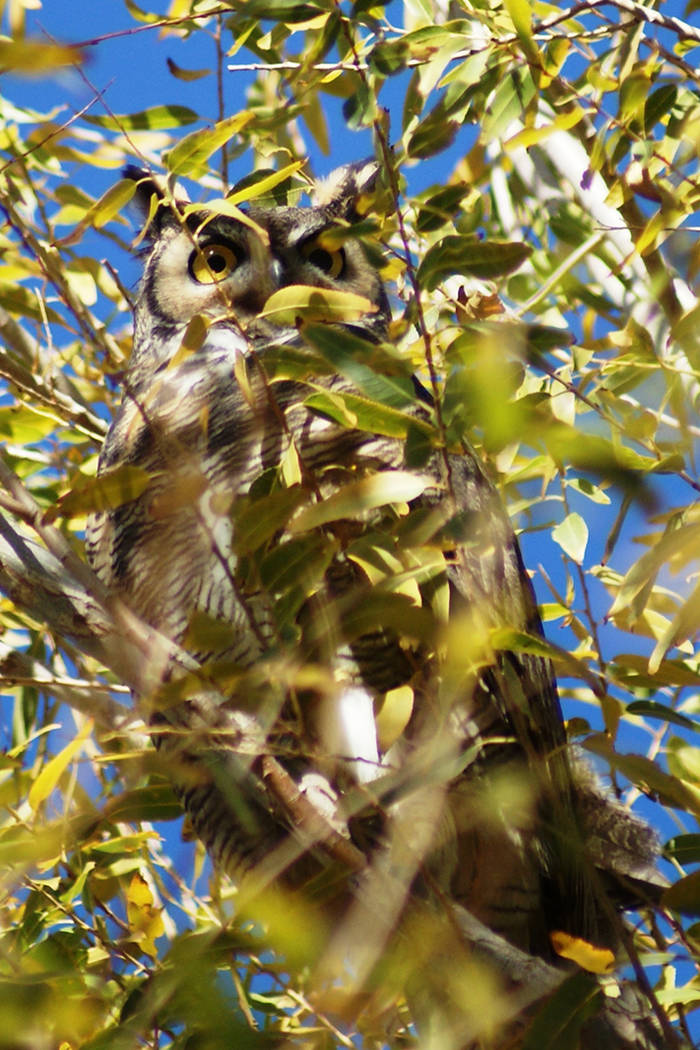 A great horned owl is perched in the tall trees of the Wetlands Nature Preserve. Normally a day ...