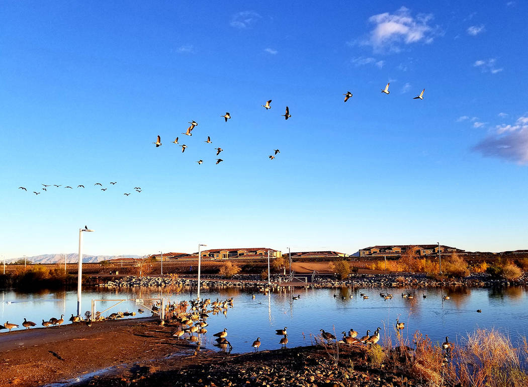 Dozens of Canada geese spend the early mornings preparing to take flight from Cornerstone Park. ...