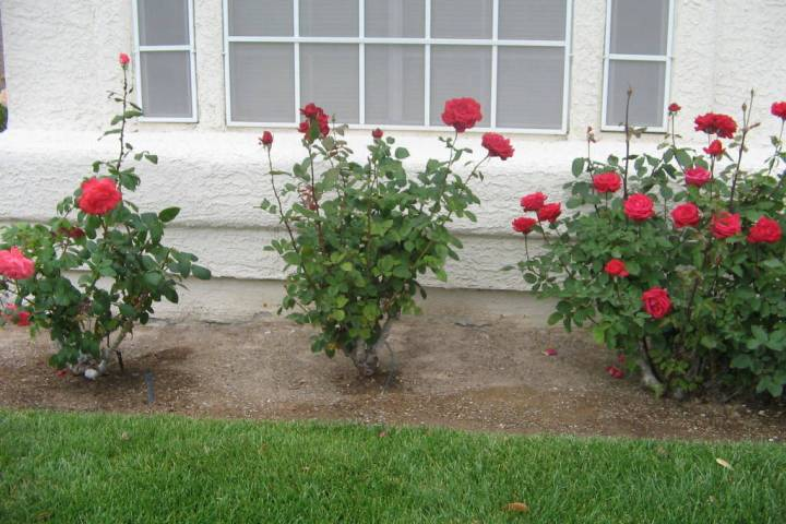 Now is the time of year for pruning roses. Make sure they are given fertilizer plus iron by the ...