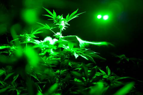 FILE - In this May 20, 2019, file photo, marijuana plants sit in a grow room under green lights ...
