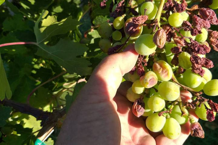 Delaying the final pruning of grapes helps reduce disease problems from developing on the grape ...