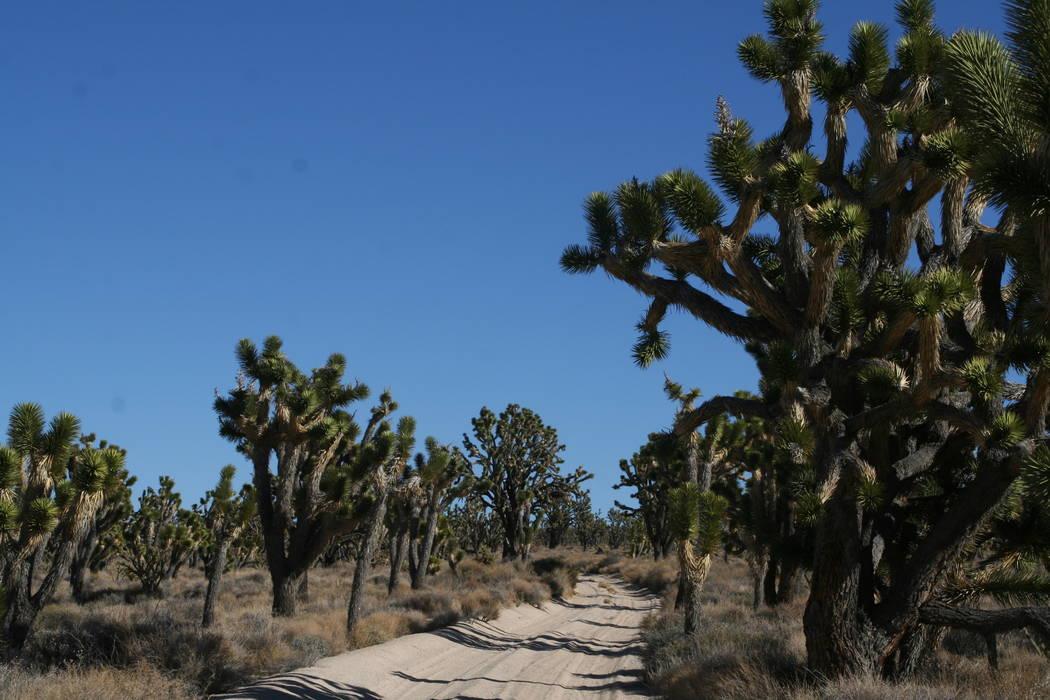 Joshua trees thrive in many areas of the Mojave National Preserve. (Deborah Wall/Las Vegas Revi ...