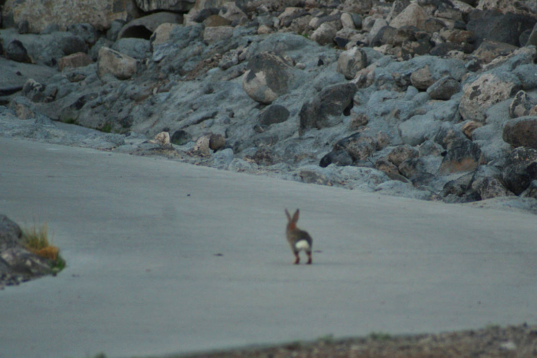 A desert cottontail hops down a trail near Allegro Park, which is perched above a multi-use tra ...