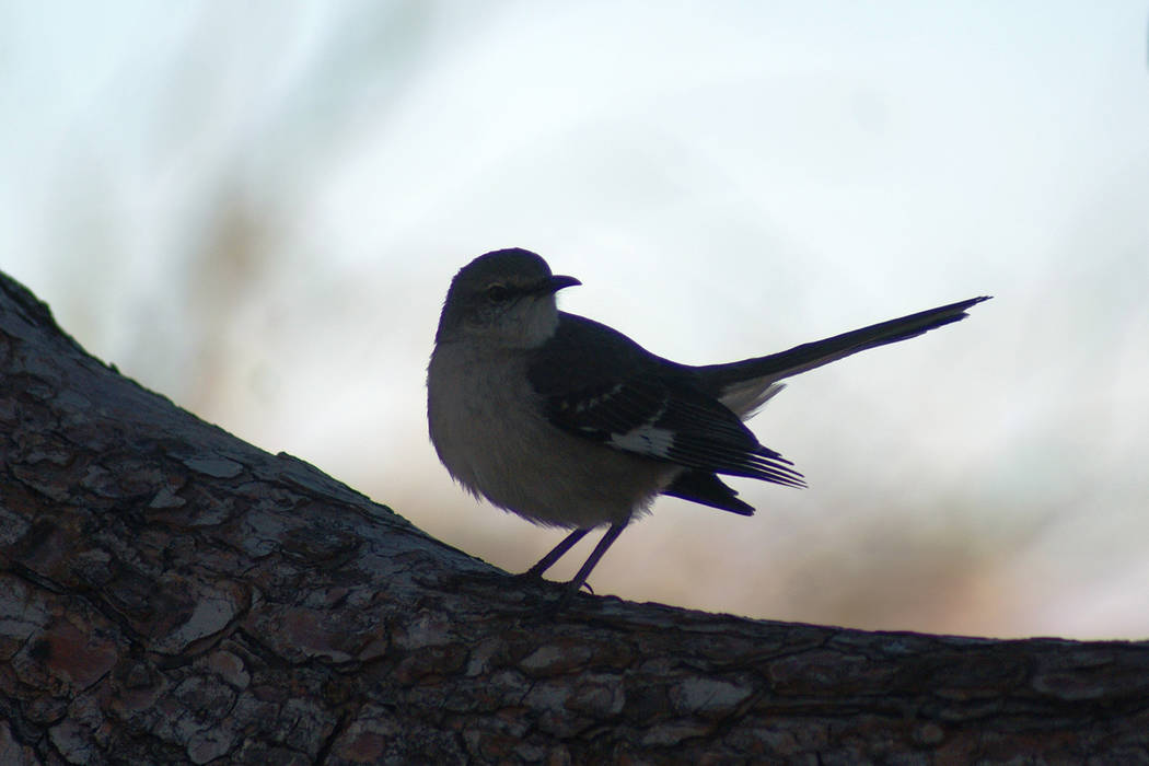 A northern mockingbird rests on a branch after foraging at Sonata Park, one of four parks walke ...