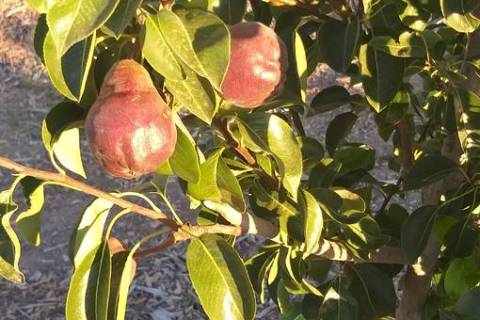Bob Morris Red Barlett pear tree is a late producing fruit tree. (Bob Morris)