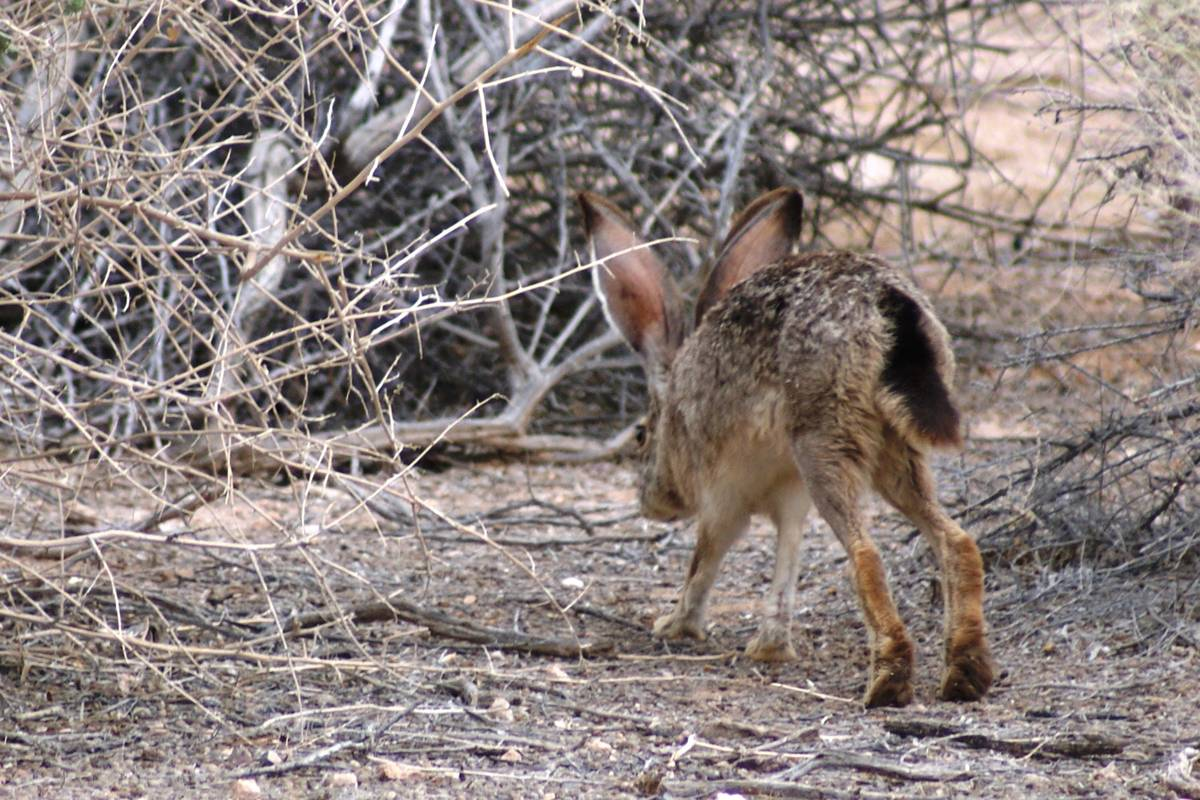 A black-tailed jackrabbit hops into the underbrush Wednesday at Dunes Discovery Area of Sunset ...