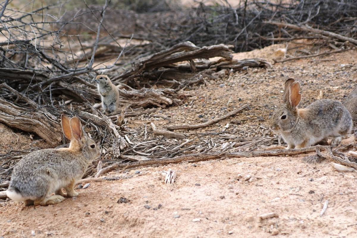 A pair of desert cottontails and a ground squirrel share space Wednesday at Dunes Discovery Are ...