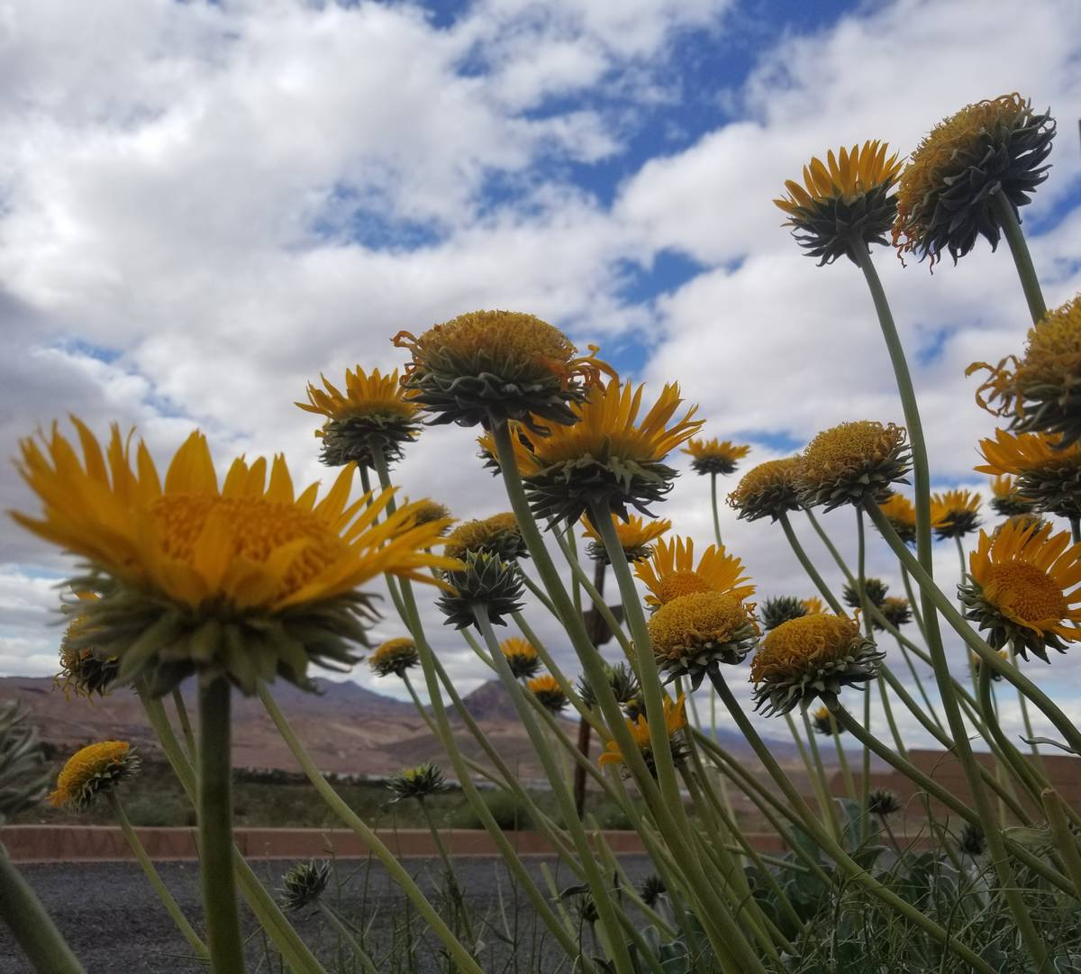 Bright yellow silverleaf sunrays were spotted in bloom Tuesday afternoon. (Natalie Burt)