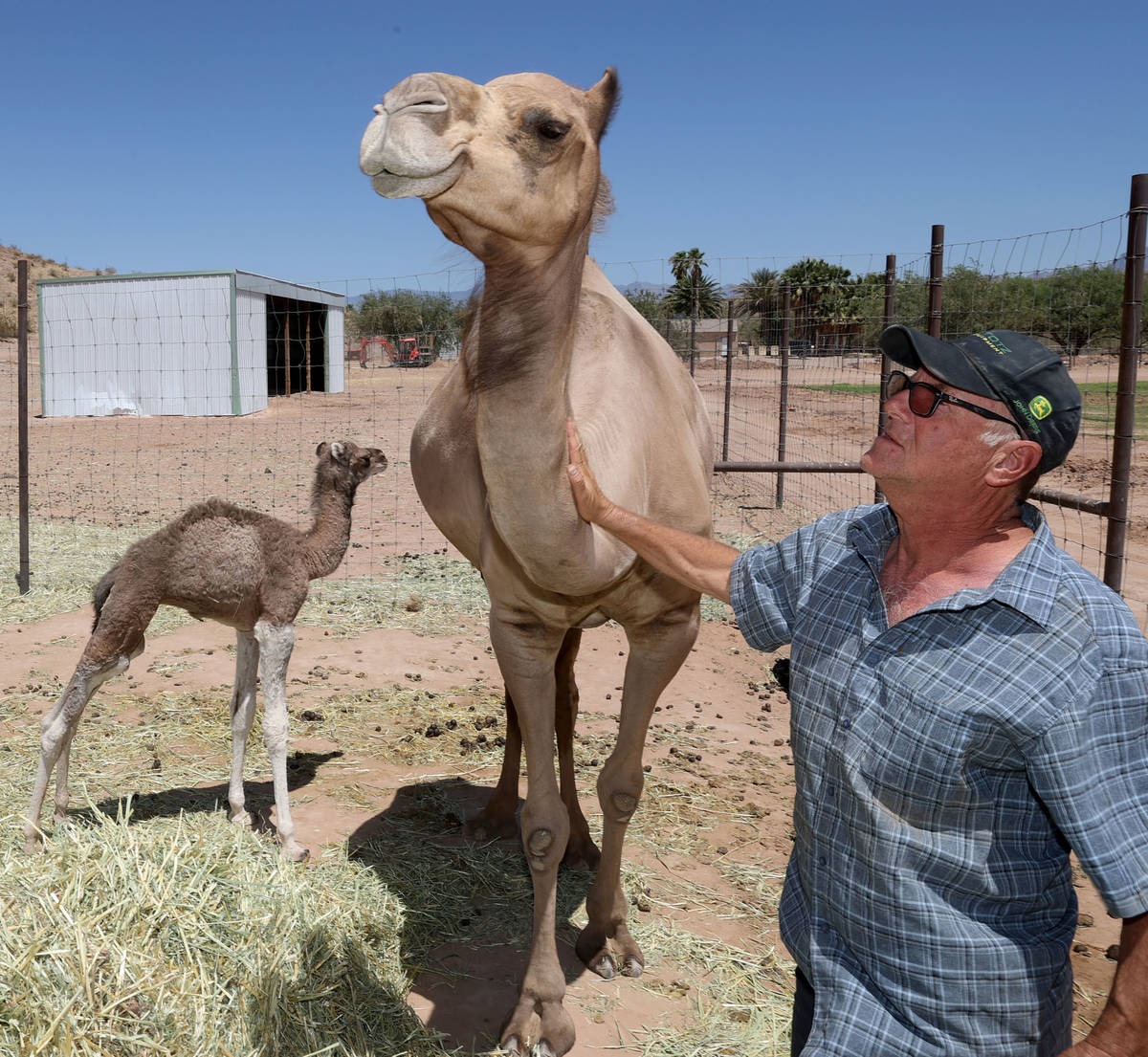 Baby camel Darlene, who was born Friday, June 26, roams at Camel Safari in Bunkerville as owner ...