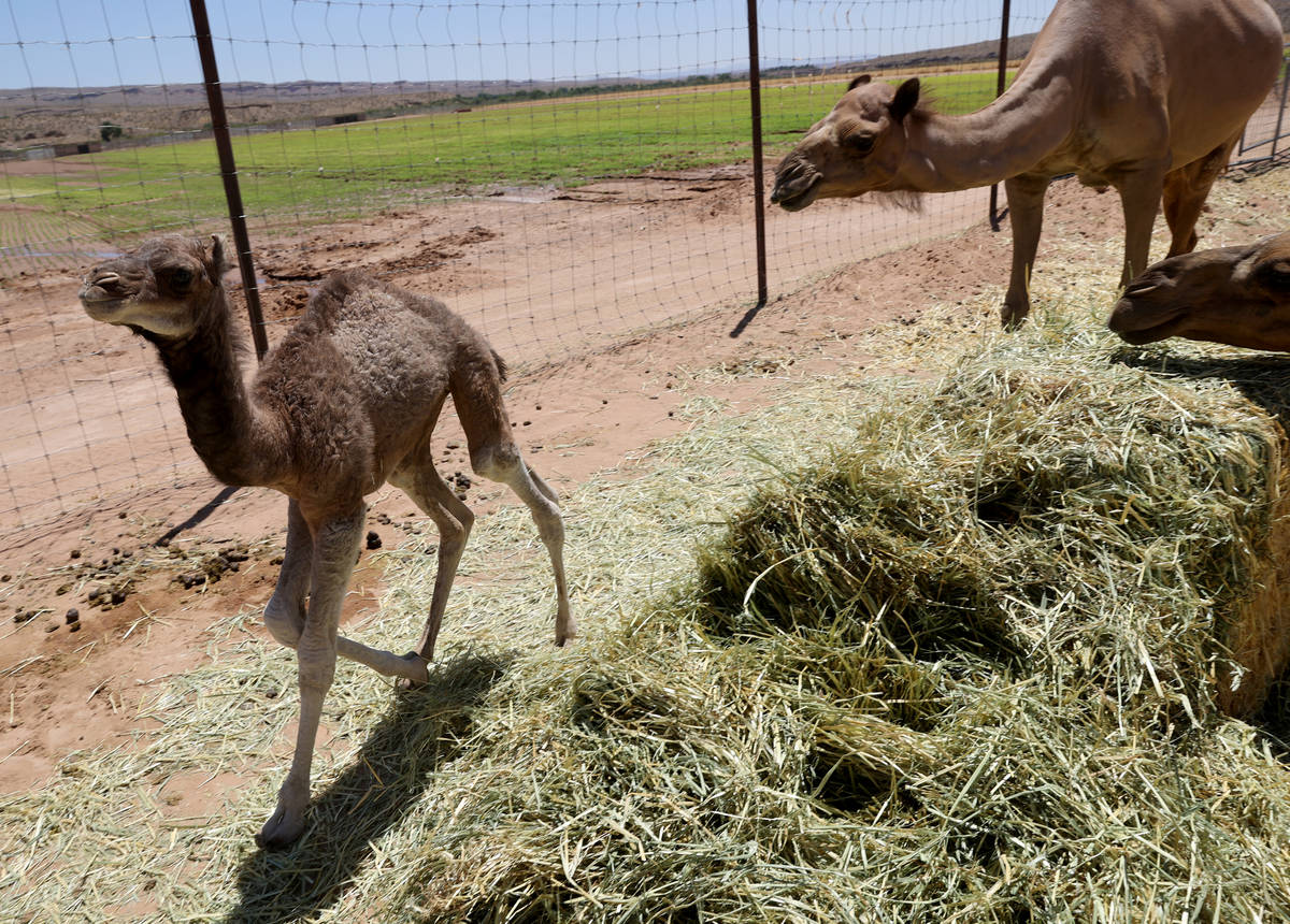 Baby camel Darlene, who was born Friday, June 26, roams Camel Safari in Bunkerville Tuesday, Ju ...