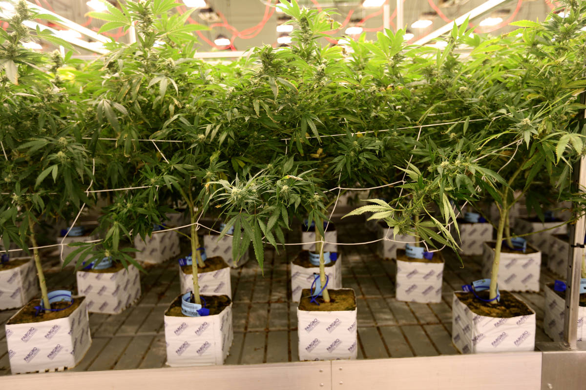 Nevada's newly-minted Cannabis Compliance Board voted Tuesday to strip more than a dozen lice ...