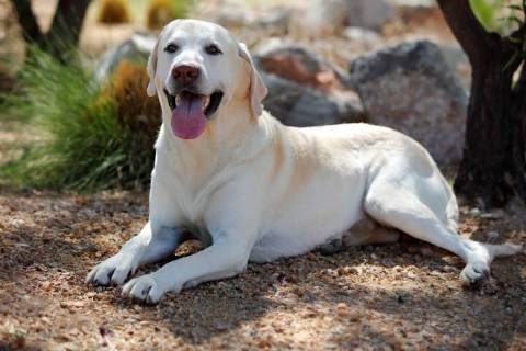 Arthur, a 7-year-old yellow Labrador Retriever from Henderson (Priceweber)