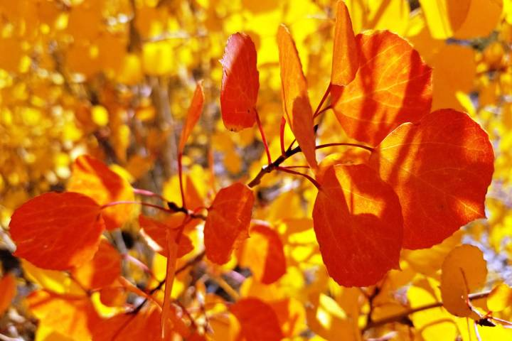 Aspen leaves in yellow and light orange along the South Loop trail in early October 2019. (Nata ...