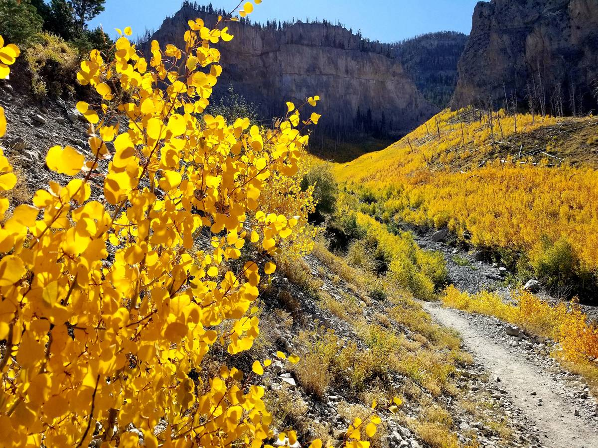 A river of golden aspen along the South Loop trail in early October 2019. (Natalie Burt Las Veg ...