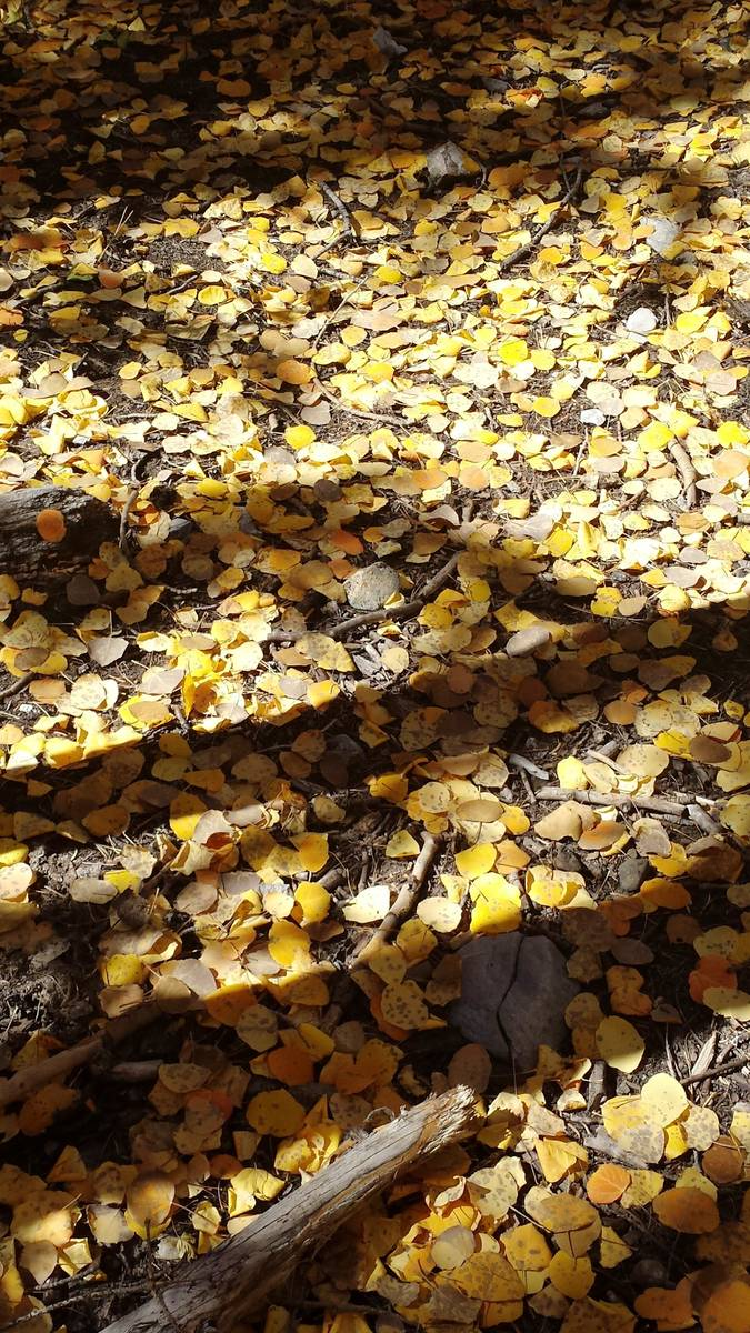 """Lee Canyon's floor is blanketed with gold aspen """"coins"""" along the Upper Bristlecone trail. (Nat ..."""