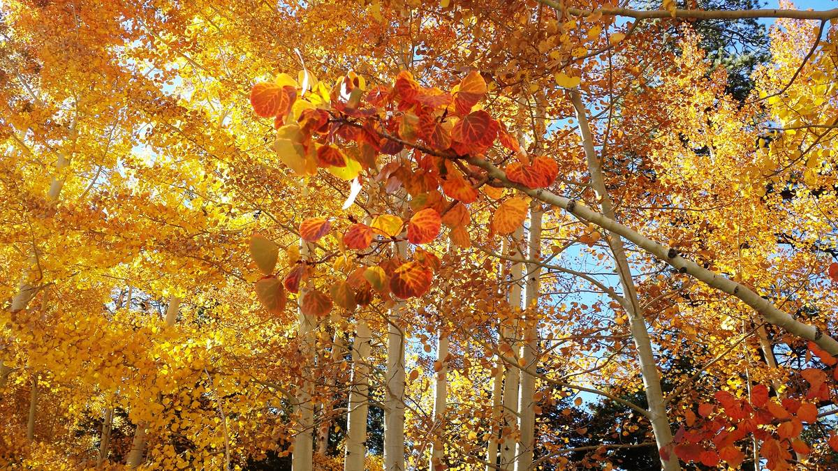 Aspen trees, such as these on the border the Lee Canyon ski resort, love open skies and sunshin ...