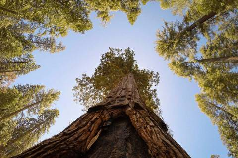 A skyward view shows the California Tunnel Tree, a giant sequoia in the Mariposa Grove at Yosem ...