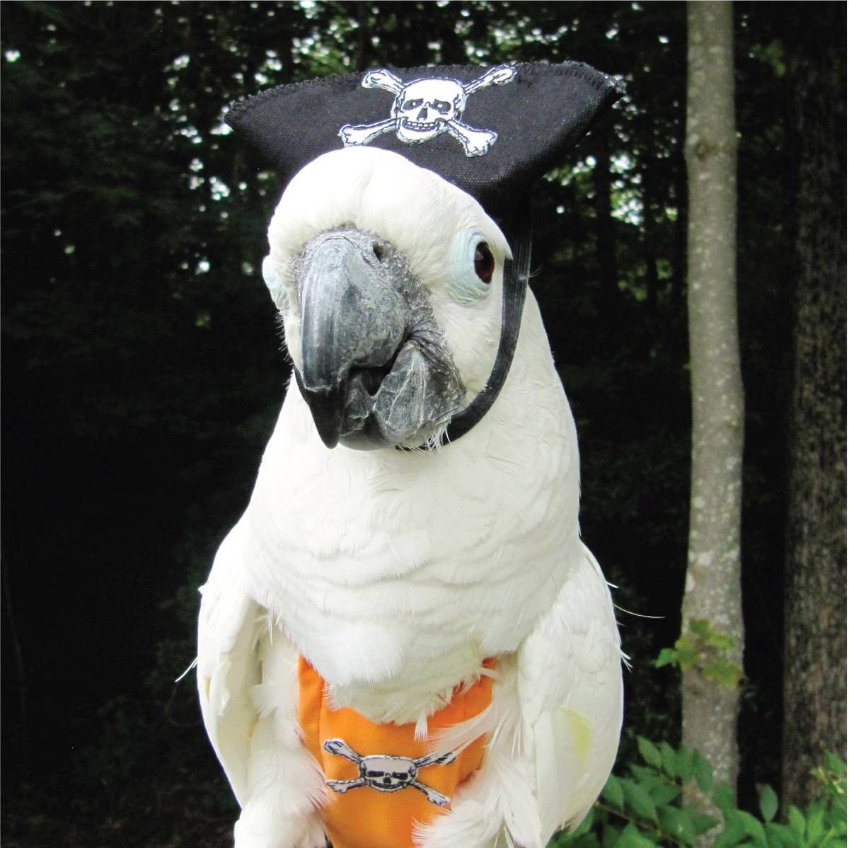 Let your parrot's inner pirate shine with the pirate FeatherWear flight suit and hat. (flightqu ...