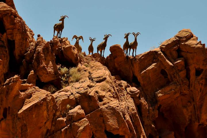 Bighorn sheep look down on hikers on the Mouse's Tank trail at Valley of Fire State Park. (Las ...