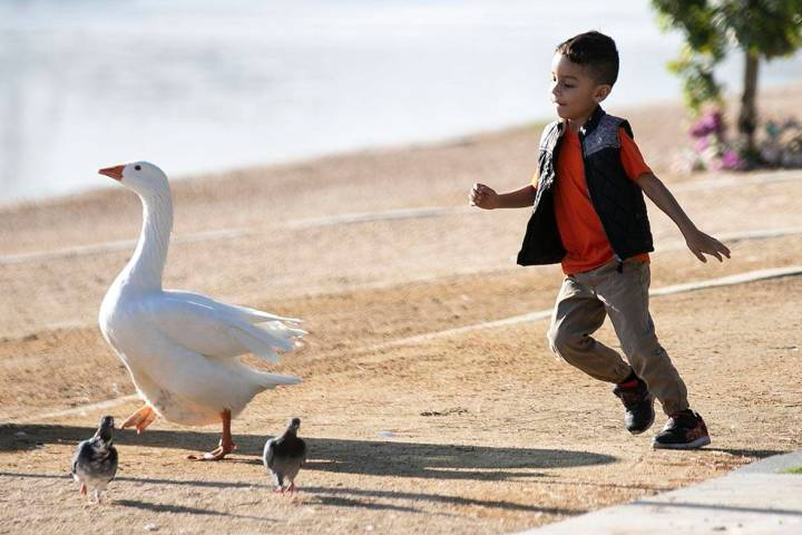 Jose Angel, 4, chases a goose as he plays during a cool morning at Sunset Park pond on Thursday ...