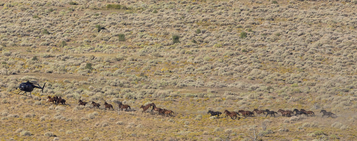 A helicopter rounds up wild horses during the Diamond HMA gather on Thursday, Sept. 10, 2020, n ...
